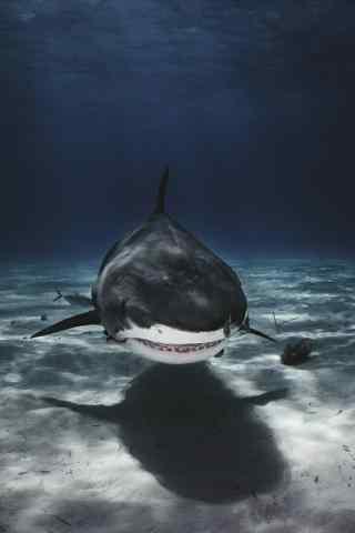 水下霸主大鲨鱼手
