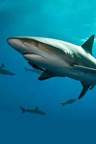 凶猛的大白鲨手机
