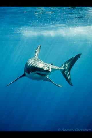 海洋生物大鲨鱼手
