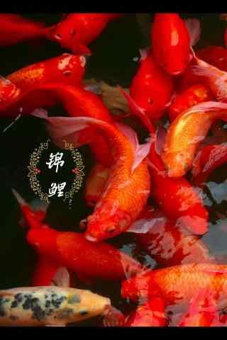 唯美许愿红色锦鲤