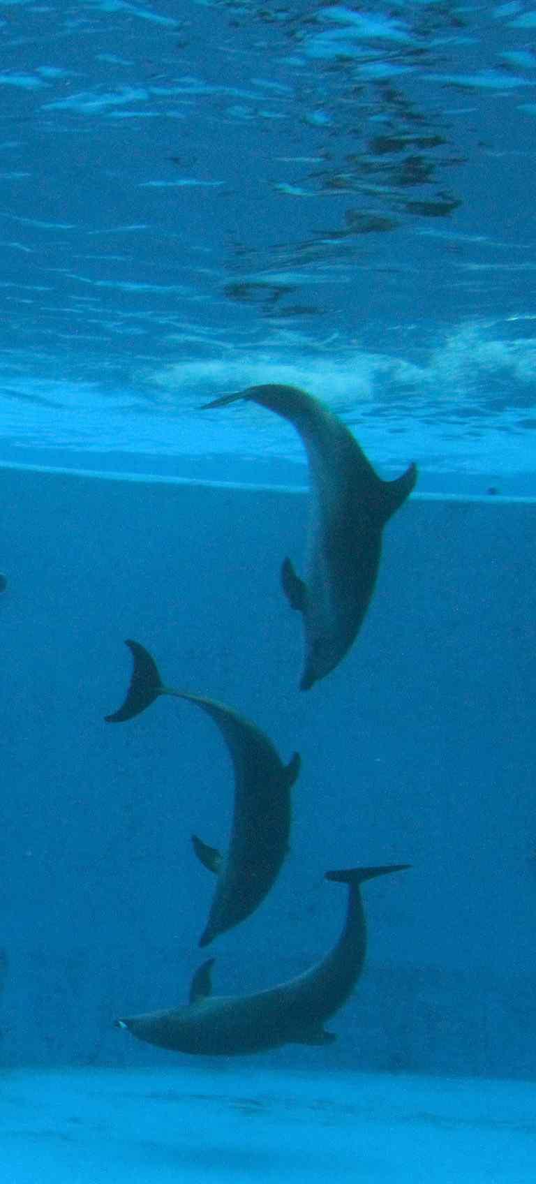 水中排队的海豚手机壁纸