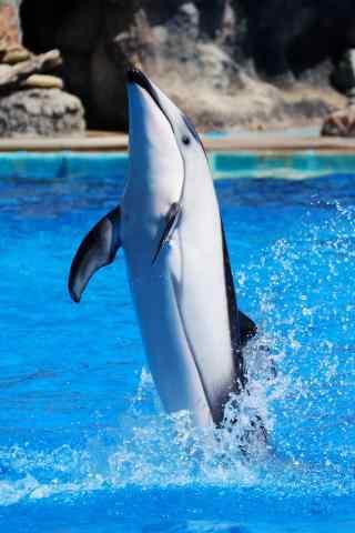 冲出水面的海豚手机壁纸
