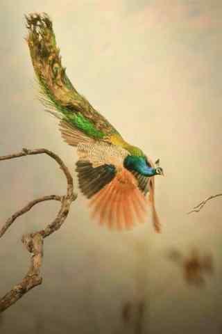 展翅飞翔的孔雀手机壁纸