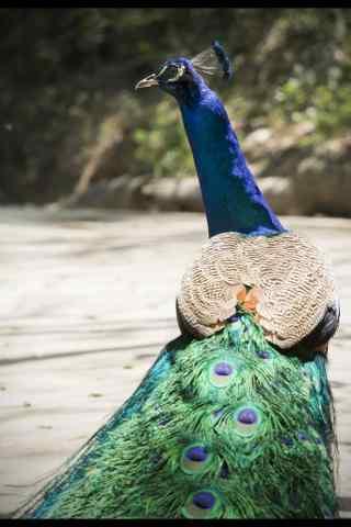 漂亮羽毛的孔雀手机壁纸