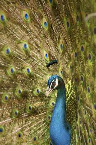 绿孔雀开屏出漂亮尾毛手机壁纸