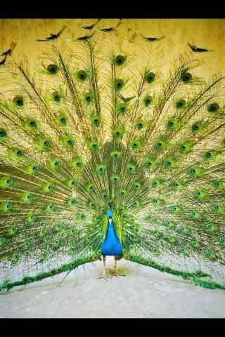漂亮的绿孔雀手机壁纸