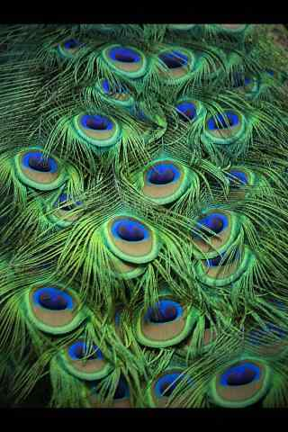 绿色漂亮的孔雀尾毛手机壁纸