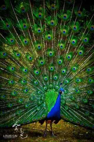 美丽的孔雀开屏手机壁纸