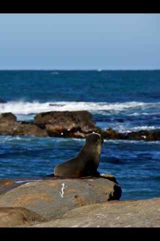 海边吹风的小海豹手机壁纸