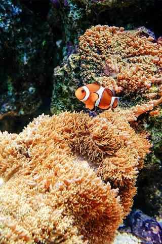 小丑鱼与海葵手机壁纸