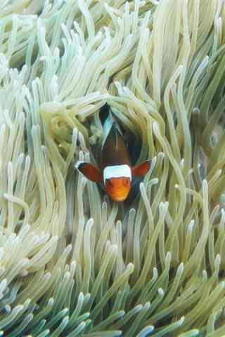 躲在海葵中的小丑鱼手机壁纸