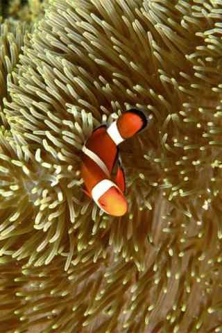 小丑鱼与海葵高清手机壁纸