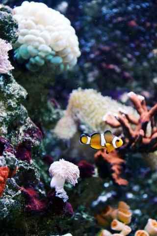 海底世界中的小丑鱼手机壁纸