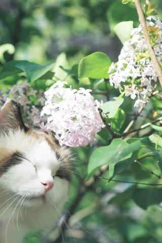 可爱笑容的布偶猫