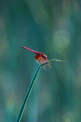 红蜻蜓手机壁纸