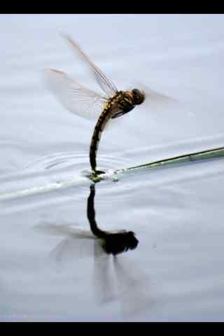 蜻蜓点水手机壁纸