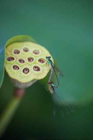 莲藕上的蜻蜓手机壁纸