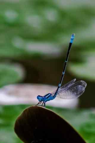 蓝蜻蜓手机壁纸