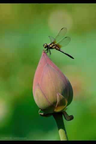 荷花上的蜻蜓手机壁纸