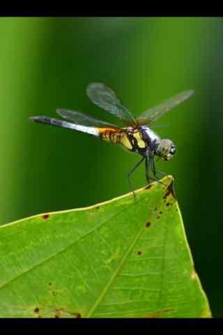 小蜻蜓立枝头手机壁纸