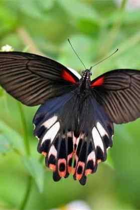 美丽的凤蝶手机壁纸