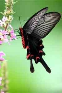 黑色凤蝶高清手机壁纸