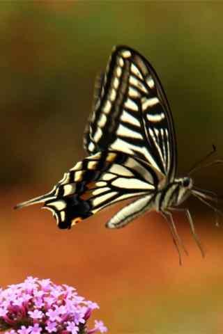 凤蝶之燕尾蝶高清手机壁纸