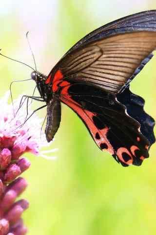 停在花上的凤蝶手机壁纸