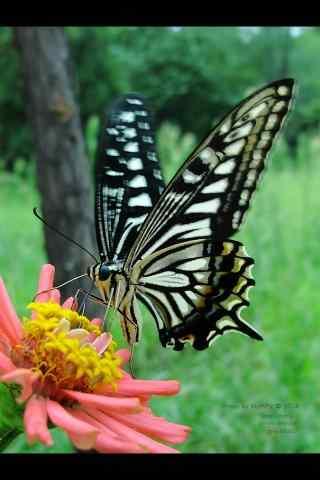 燕尾蝶之高清手机壁纸