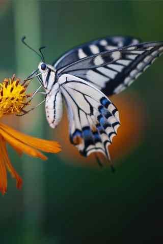 可爱的凤蝶高清手机壁纸