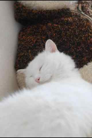 睡着的白色猫咪手