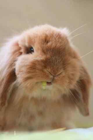 萌萌哒吃货小兔子手机壁纸
