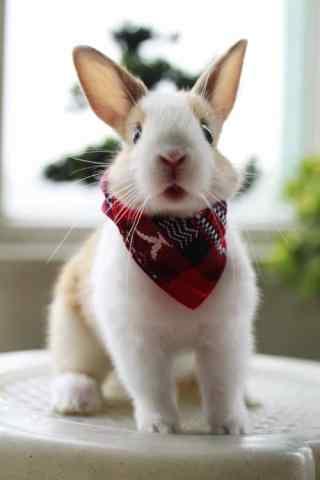 戴围脖的小兔子手机壁纸