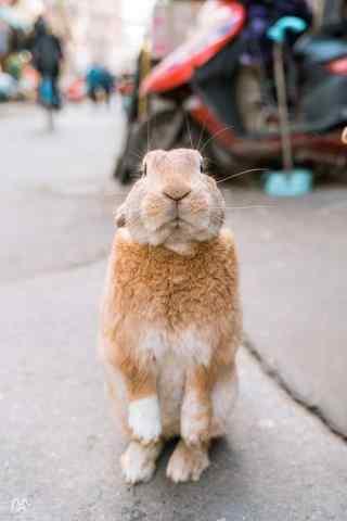 呆萌直立的小兔子手机壁纸