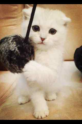 可爱白色的短毛猫手机壁纸