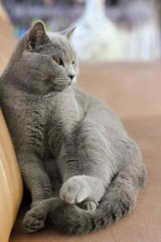 可爱的英国短毛猫高清手机壁纸