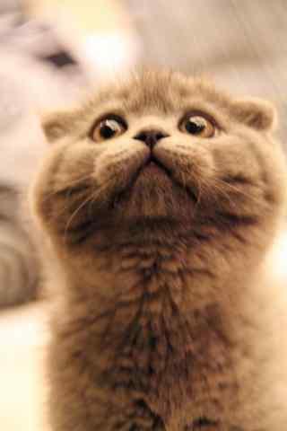 委屈巴巴的英短猫咪手机壁纸
