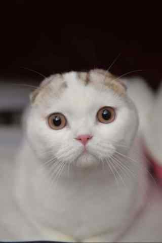 一脸呆萌的白的短毛猫手机壁纸