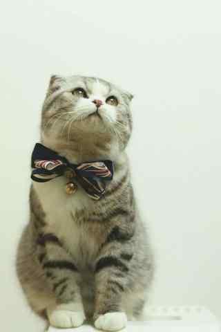 可爱呆萌的短猫咪手机壁纸