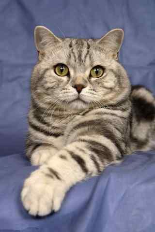 正襟危坐的英短猫咪手机壁纸