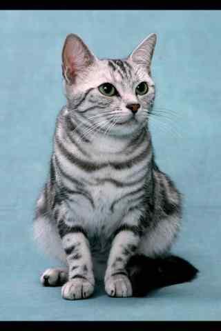 美国短毛猫可爱呆萌手机壁纸