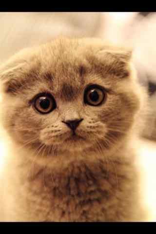 一脸委屈的英短猫咪手机壁纸