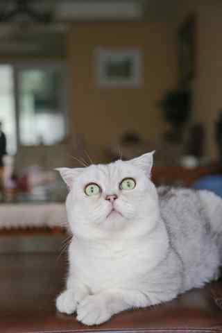 受到惊吓的白色短毛猫手机壁纸