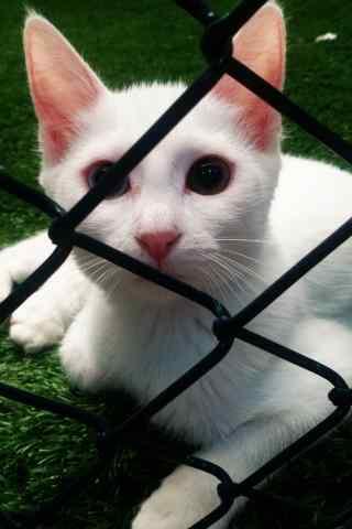 白色好看的波斯猫手机壁纸