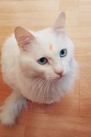 呆萌可爱的波斯猫手机壁纸