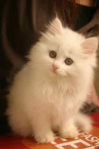 软萌可爱的波斯猫手机壁纸