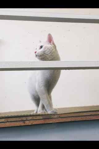 身姿挺拔的波斯猫手机壁纸