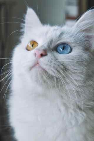可爱呆萌的波斯猫手机壁纸