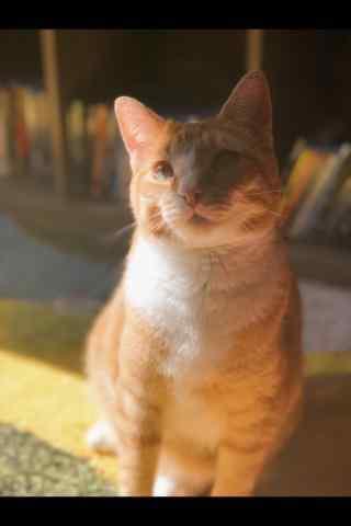 唯美好看的小橘猫手机壁纸