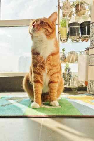 可爱呆萌的橘猫手机壁纸